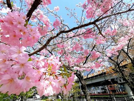 都心の桜、引き続きクライマックスへ