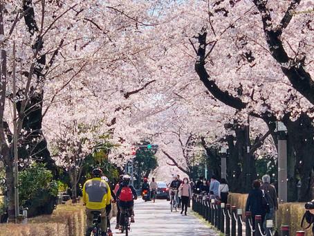 都心の桜、クライマックスへ
