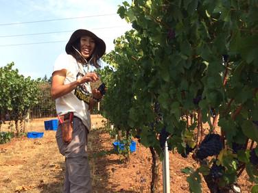 オレゴンのブドウ収穫に初めて参加しました!