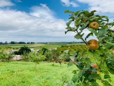 ポートランドの唯一自園りんごを使用するサイダリー
