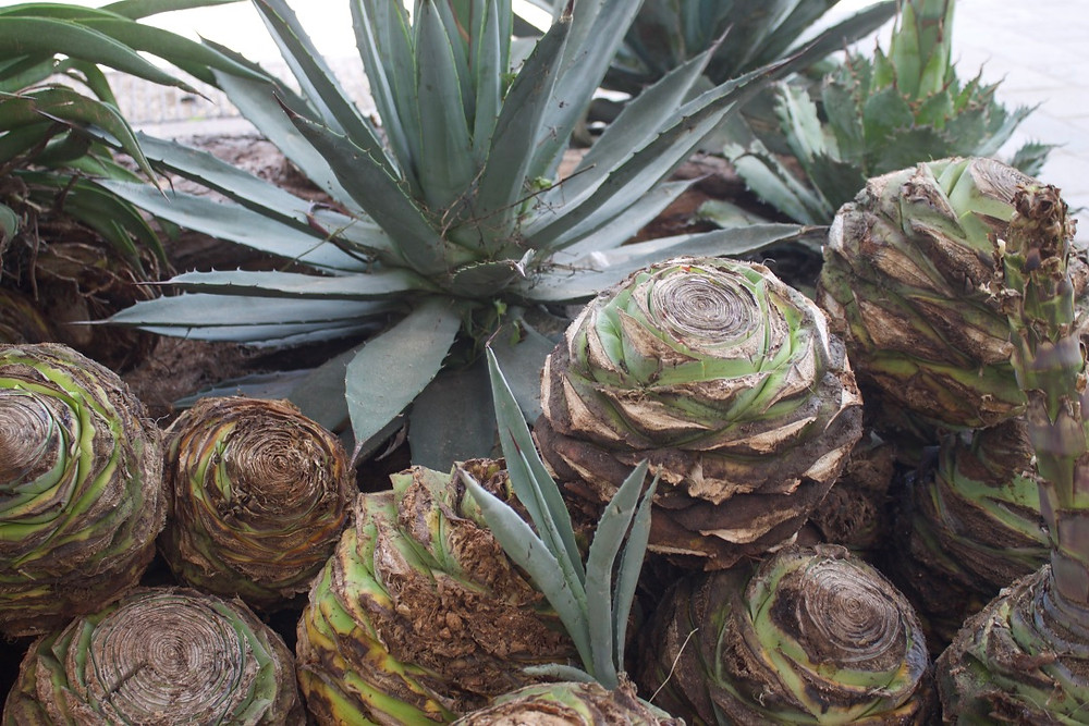 Agave plants that have been trimmed and are ready for the production process.