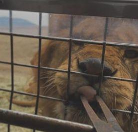 Lion ~ your best friend