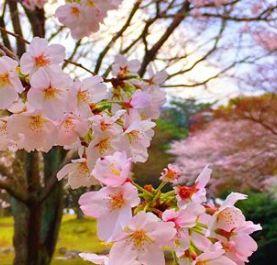 Cherry Blossams