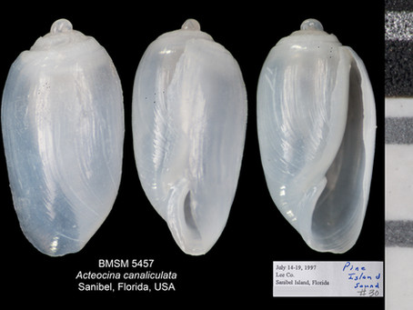 Shell of the Week: The Channeled Barrel Bubble