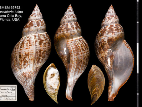 Shell of the Week: The True Tulip