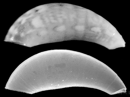 Shell of the Week: The Little Horn Caecum