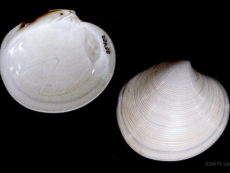 Shell of the Week: The Elegant Dosinia
