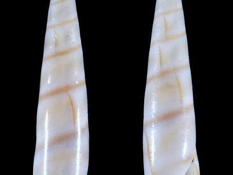 Shell of the Week: The Two-band Eulima