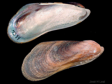 Shell of the Week: The Southern Ribbed Mussel