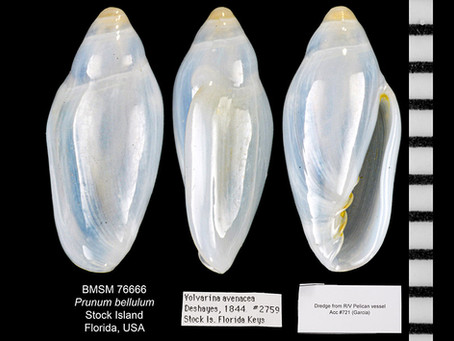 Shell of the Week: The Little Oat Marginella