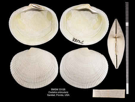 Shell of the Week: The Tiger Lucine