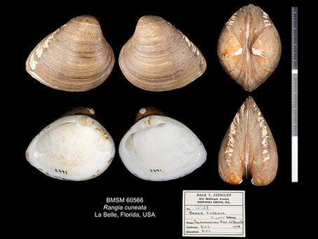 Shell of the Week: The Atlantic Rangia