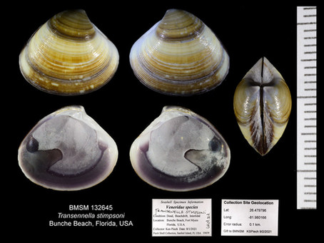 Shell of the Week: The Banded Transennella