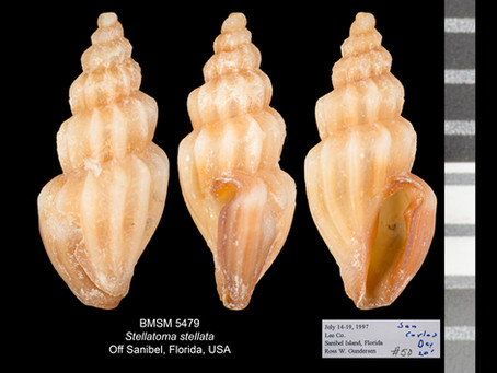Shell of the Week: The Star Mangelia