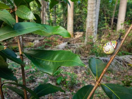 Endangered Cuban Painted Snails