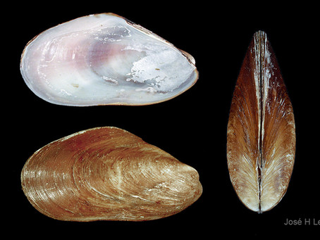 Shell of the Week: The Southern Horse Mussel