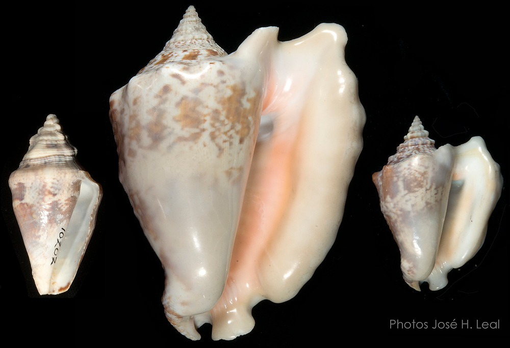 Puzzling Dwarf Conchs