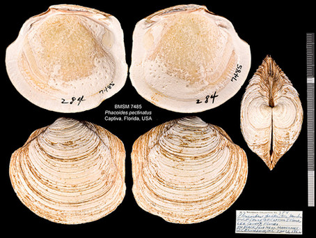 Shell of the Week: The Thick Lucine