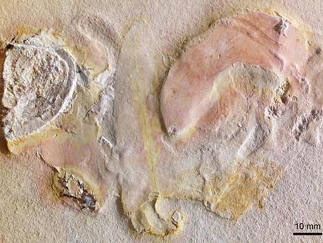 Ammonite Body Parts Revealed