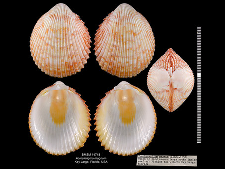 Shell of the Week: The Magnum Prickly Cockle