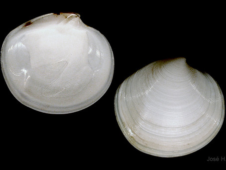 Shell of the Week: The Disk Dosinia