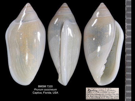 Shell of the Week: The Velie Marginella
