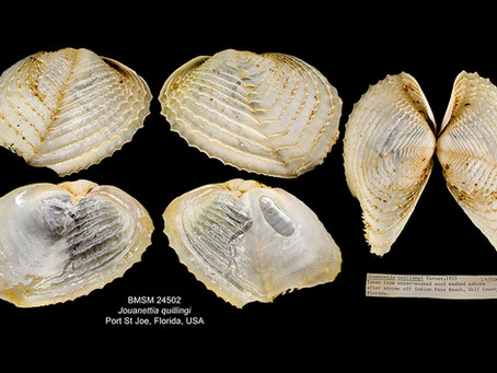 Shell of the Week: The Spiny Piddock