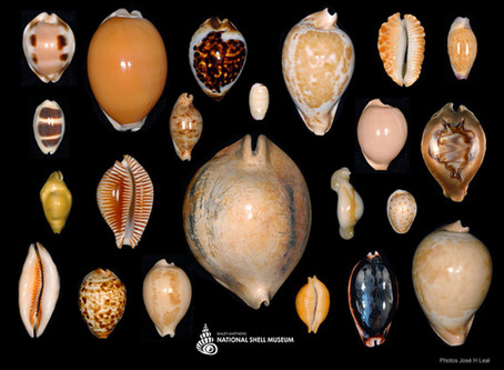 Cowries are Cool!