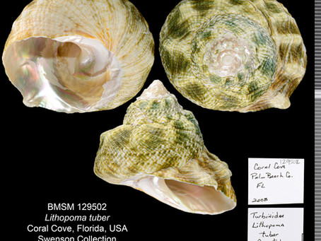 Shell of the Week: The Green Star Snail