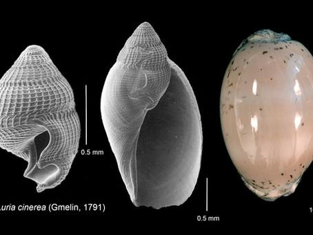 Metamorphosis in a Sea Snail