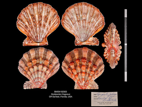 Shell of the Week: The Northern Lion Paw