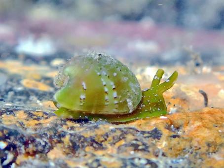 A Bivalved Snail?