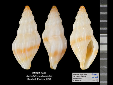 Shell of the Week: The Diomedes Mangelia