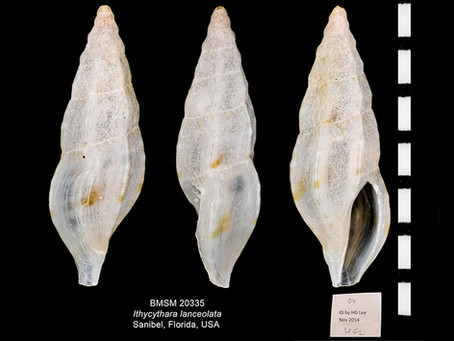 Shell of the Week: The Spear Mangelia