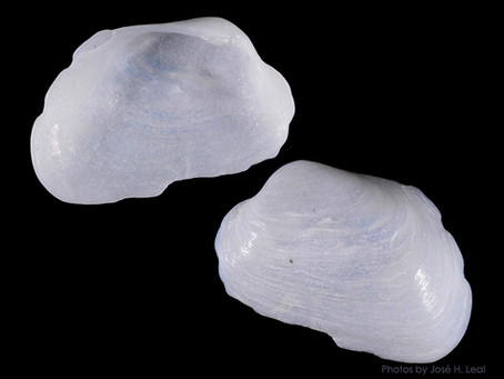 Shell of the Week: The Elliptical Sportella