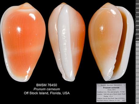Shell of the Week: The Orange Marginella