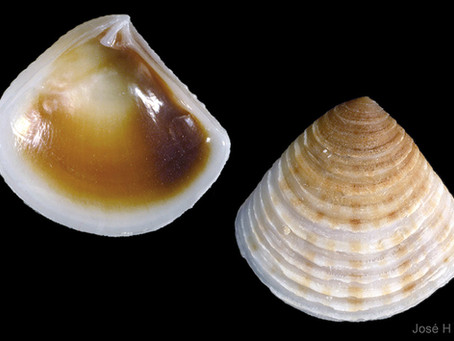 Shell of the Week: The Lunate Crassinella