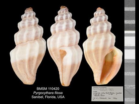 Shell of the Week: The False Mangelia