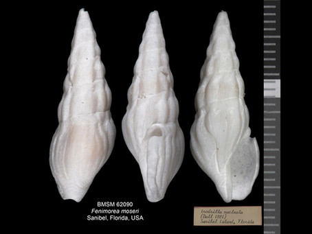 Shell of the Week: The Moser Drillia