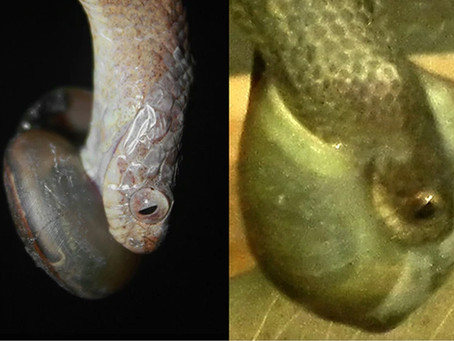 """Snakes and Snail """"Handedness"""""""