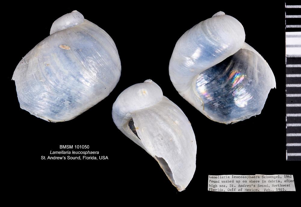 A Rare Florida Lamellaria