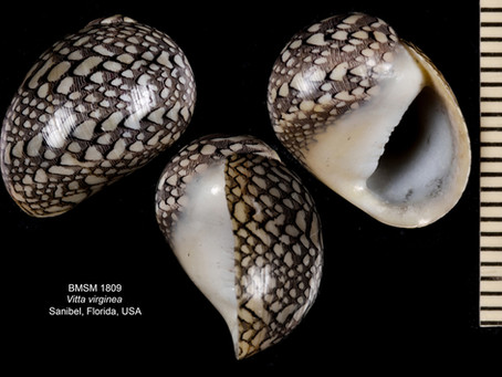 Shell of the Week: The Virgin Nerite