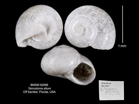 Shell of the Week: High-spired Vitrinella