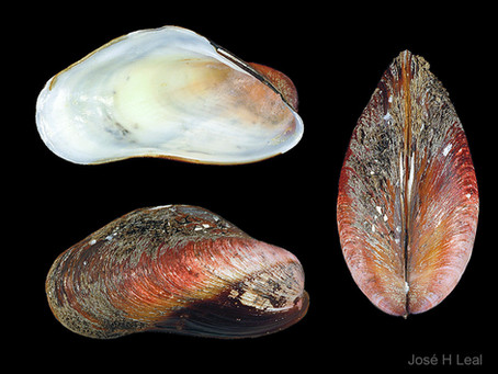 Shell of the Week: The American Horse Mussel