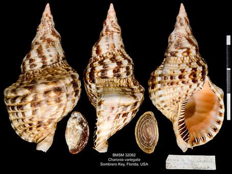 Shell of the Week: The Atlantic Trumpet Triton