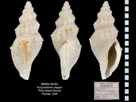 Shell of the Week: The Steger Daphnella