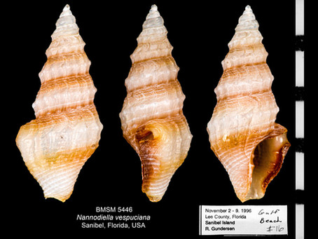 Shell of the Week: The Vespucci Dwarf Turrid