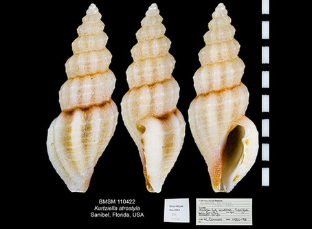 Shell of the Week: The Brown-tip Mangelia