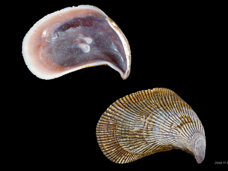 Shell of the Week: The Hooked Mussel