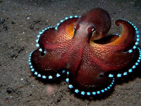 Meet the Glowing Sucker Octopus!